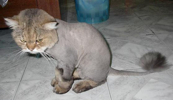 Cat Shaved Like A Poodle